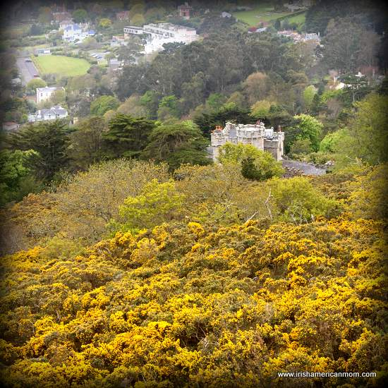 Gorse on Killiney Hill
