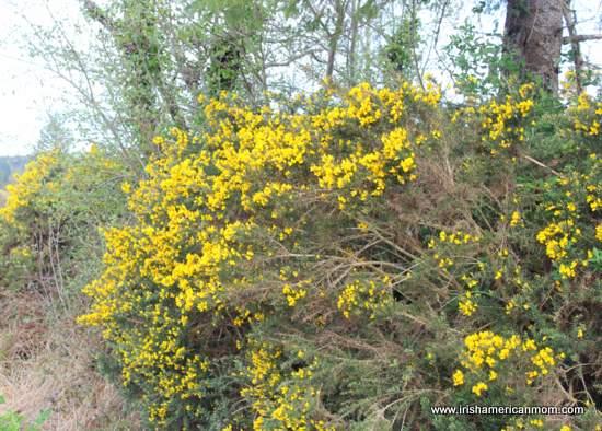 Furze the yellow flower of the irish landscape irish american mom irish hedgerow with yellow furze mightylinksfo