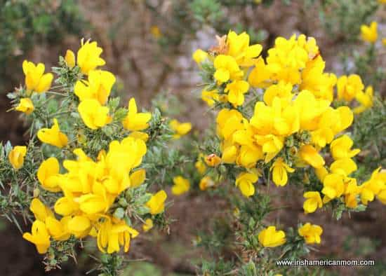Ulex or yellow gorse flowers