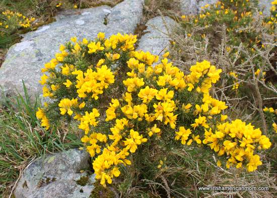 Yellow flowers and green spiked leaves on a furze bush