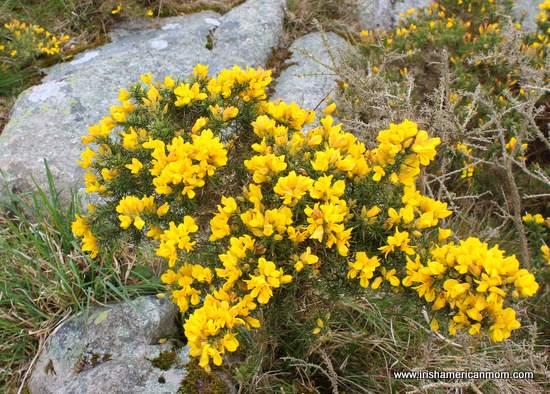 Yellow gorse, furze or whinn