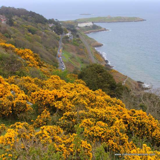Yellow gorse or furze above Vico Road from Killiney Hill