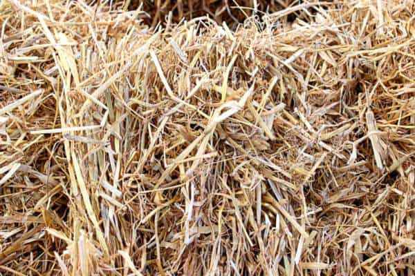 The thicker and hollower strands of a straw bale.