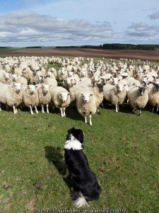 A sheep dog stares down a herd of sheep