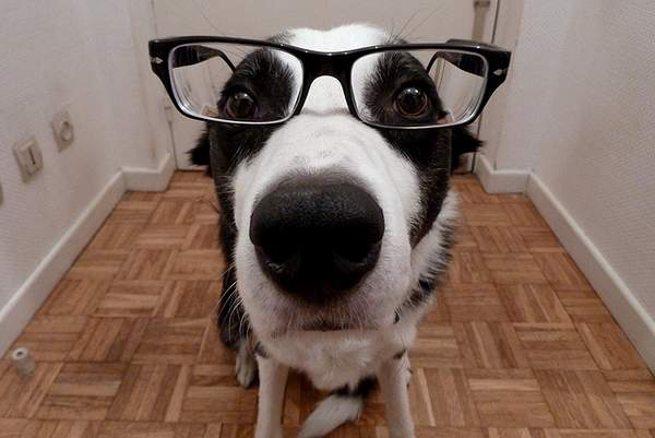 Border collie with glasses