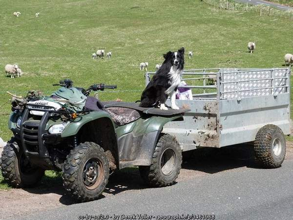 Sheep dog on all-wheel drive