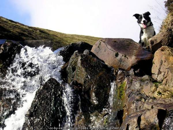 Sheepdog by waterfall in Scotland