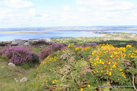 Heather and gorse on Howth Head