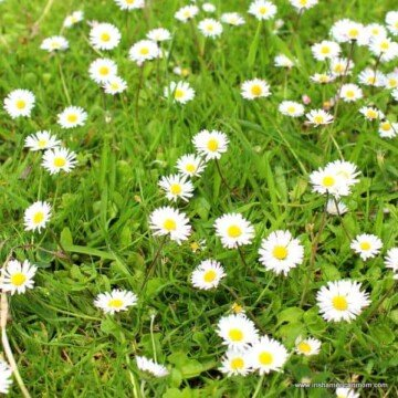 White and yellow daisies in green Irish grass