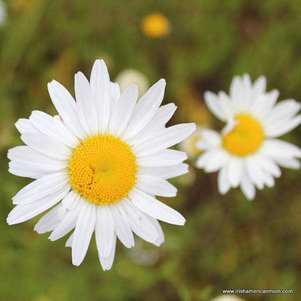 An imperfect daisy