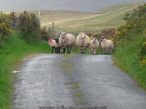 Irish sheep on country roads