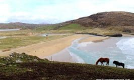 Horses on the hill beside Barley Cove Beach