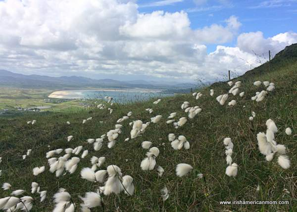 Bog cotton or cotton grass dotted on an Irish hillside