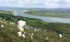 Bog cotton growing in an Irish field