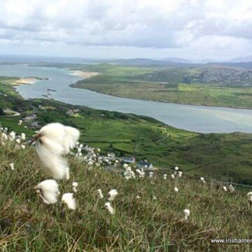 Bog cotton growing high on the side of a mountain near Downings County Donegal