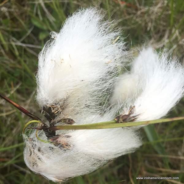 Bog cotton growing in an Irish field looks like fine white hair