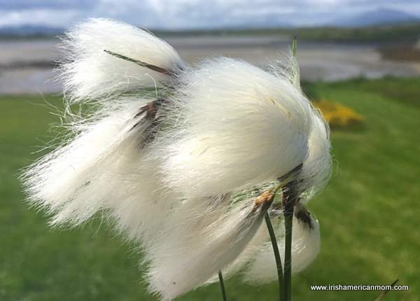 Bog cotton blowing in the wind has fine white filaments