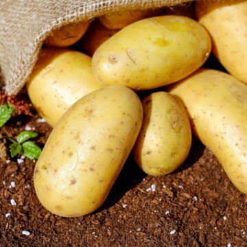 Potatoes falling out of a sack onto the dirt