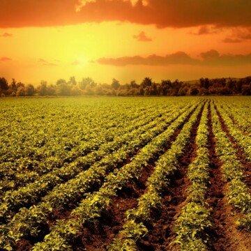 Sunset over a field of potato plants