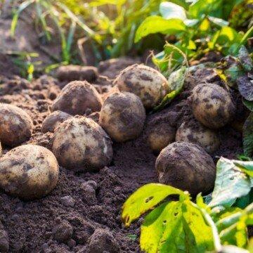 Potatoes in the dirt