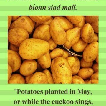 Potatoes planted while the cuckoo sings
