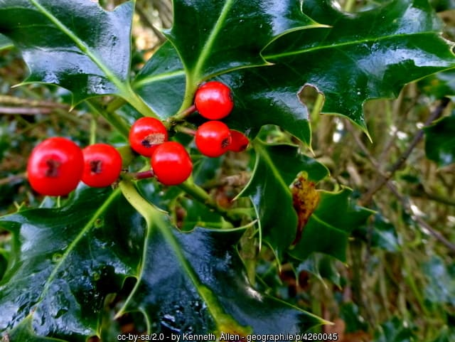 A close up of a holly tree with red fruit berries