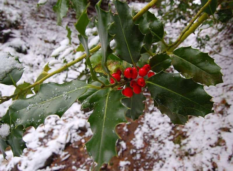 Red berries of holly in the snow