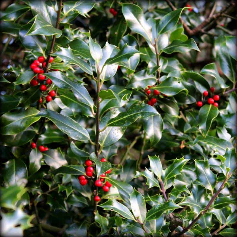 Holly growing in the wild with red berries