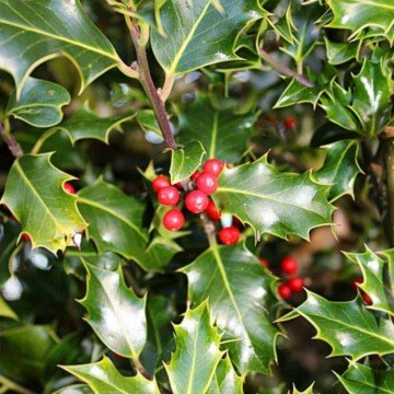 Holly berries on a branch beside spike holly leaves