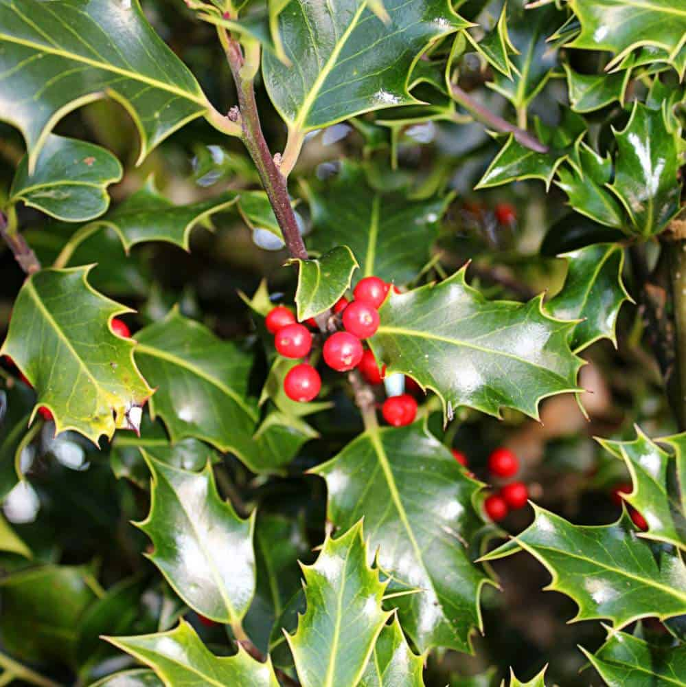 Holly berries surrounded by spiky green leaves of a holly tree