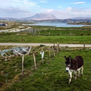 A donkey in an Irish field on the Wild Atlantic Way