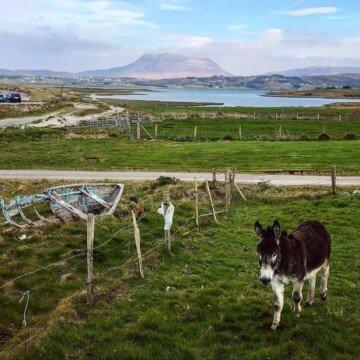 A donkey in an Irish field on the Wild Atlantic Way
