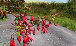 Wild red fuchsia growing in a hedgerow on Sherkin Island