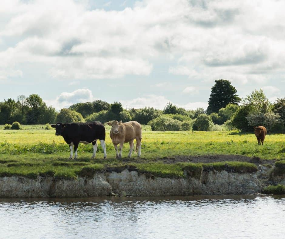 Cattle beside a rive in a green field beneath a cloudy sky