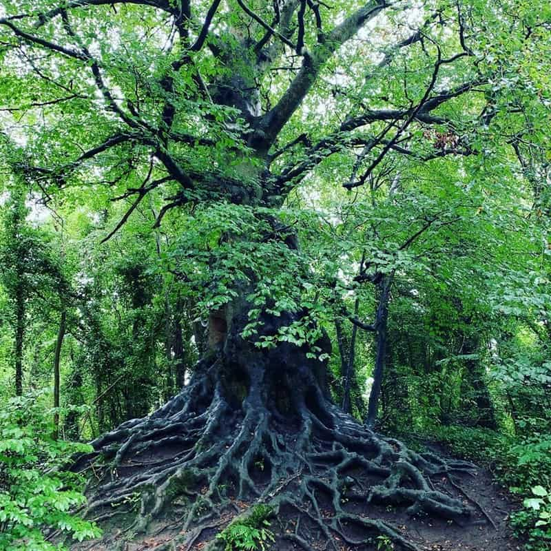 Complex root system beneath an old native Irish tree