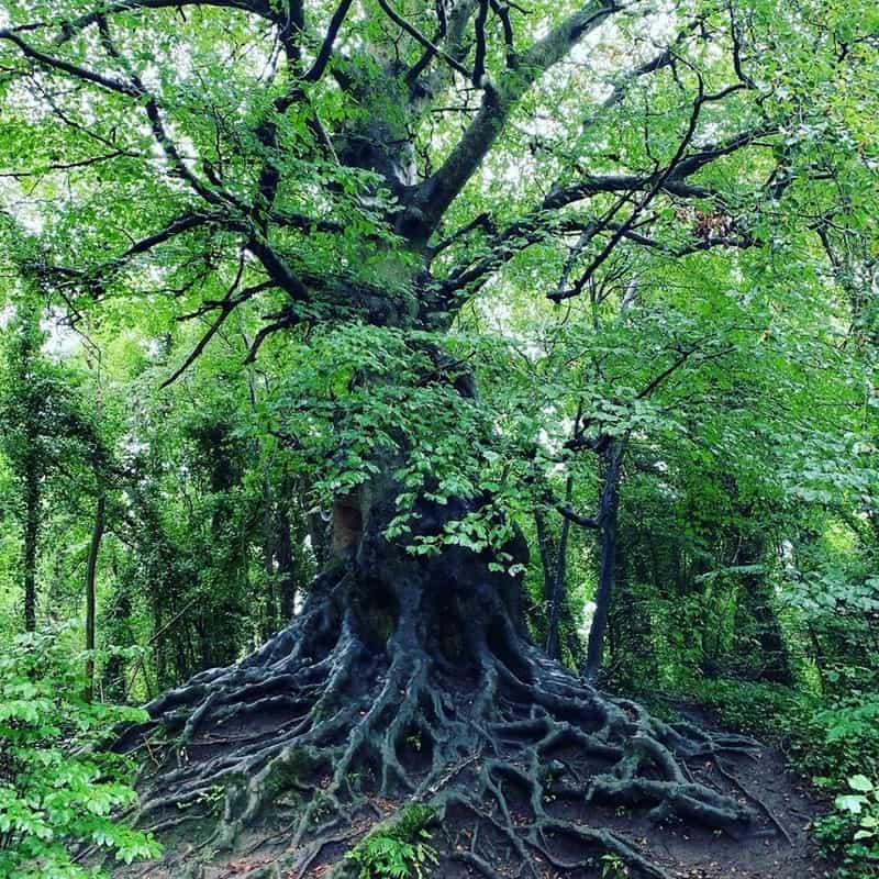 Complex root system beneath an old native Irish tree