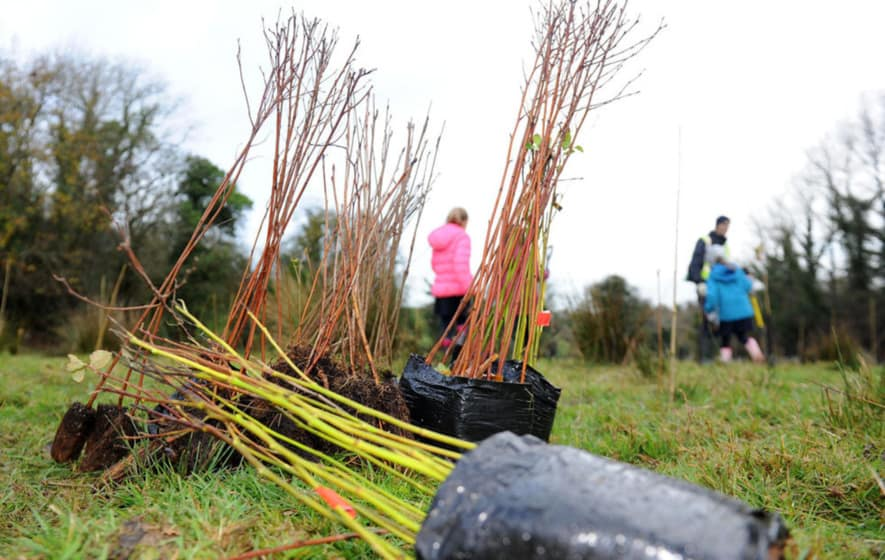 Tree saplings ready to be planted in Ireland