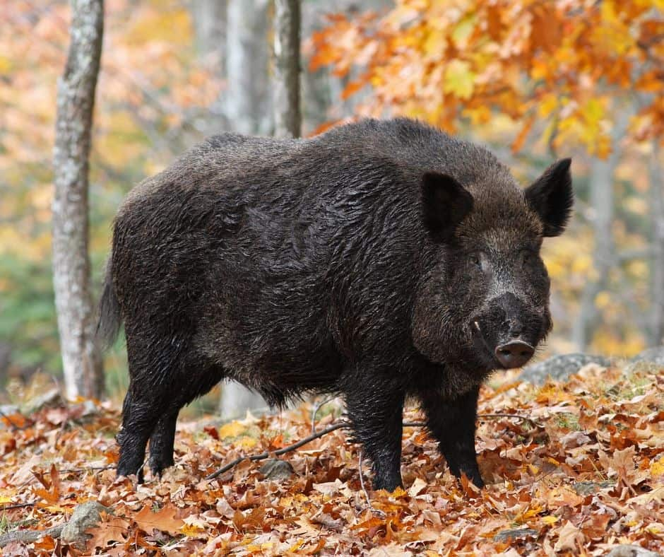 A wild black boar in a forest