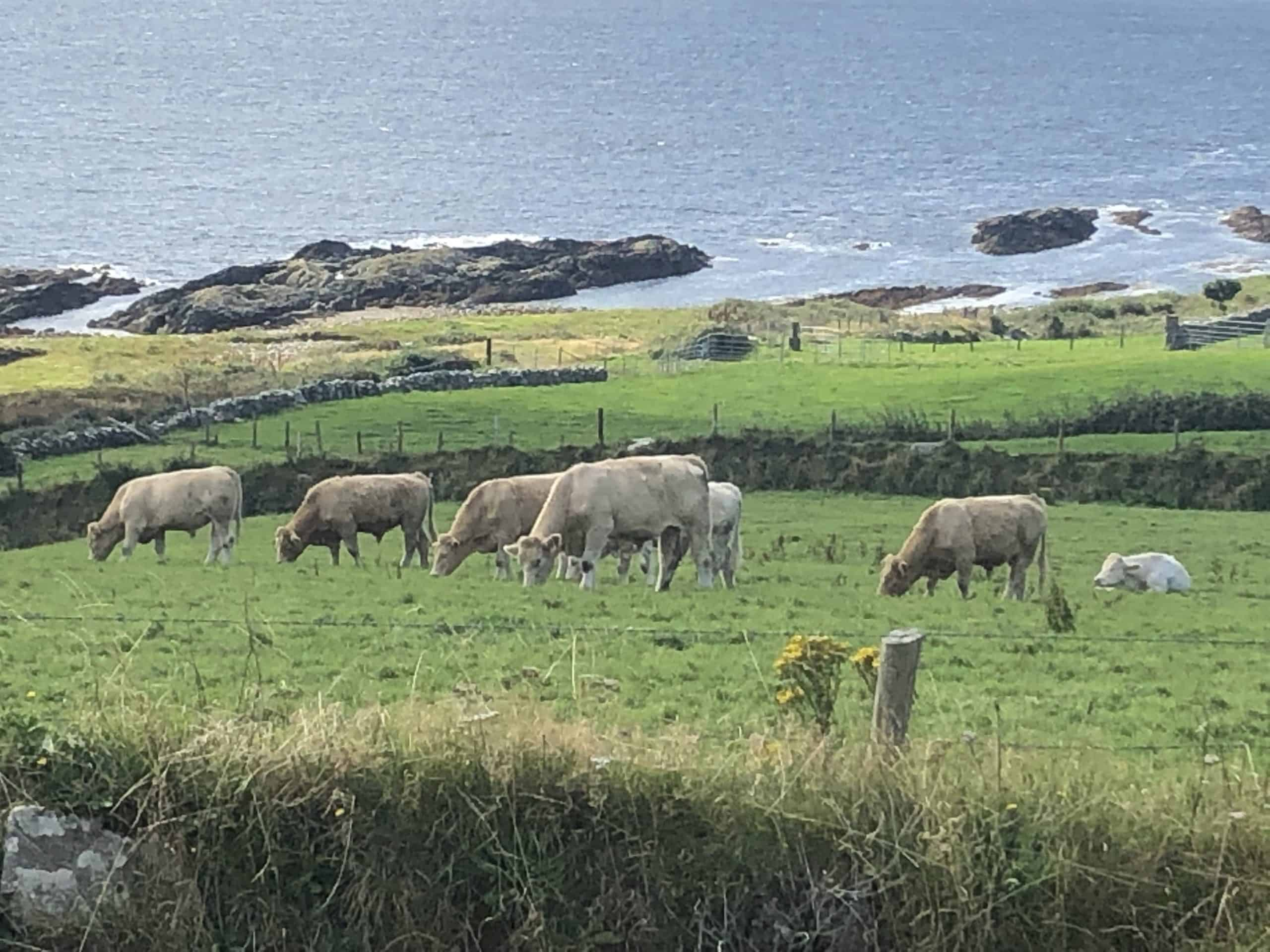 Cows grazing in a field on Dursey Island in County Cork