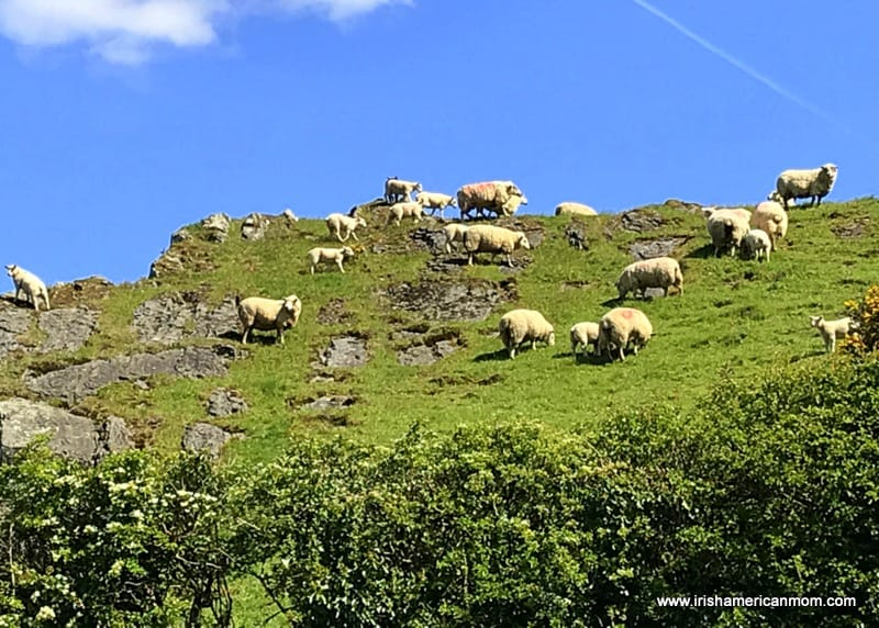 A herd of sheep grazing on a grassy hill