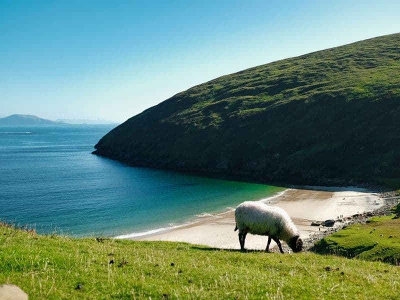 A white sheep grazing on a green slope over a sandy beach