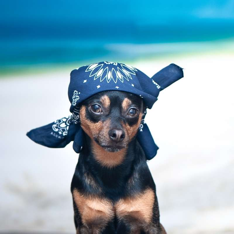 A black and brown dog wearing a navy blue bandana on its head