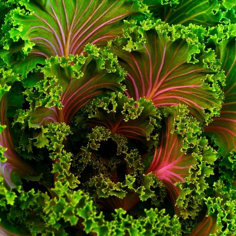 Leaves of green kale with red veins and stems
