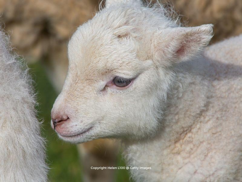A baby lamb's face