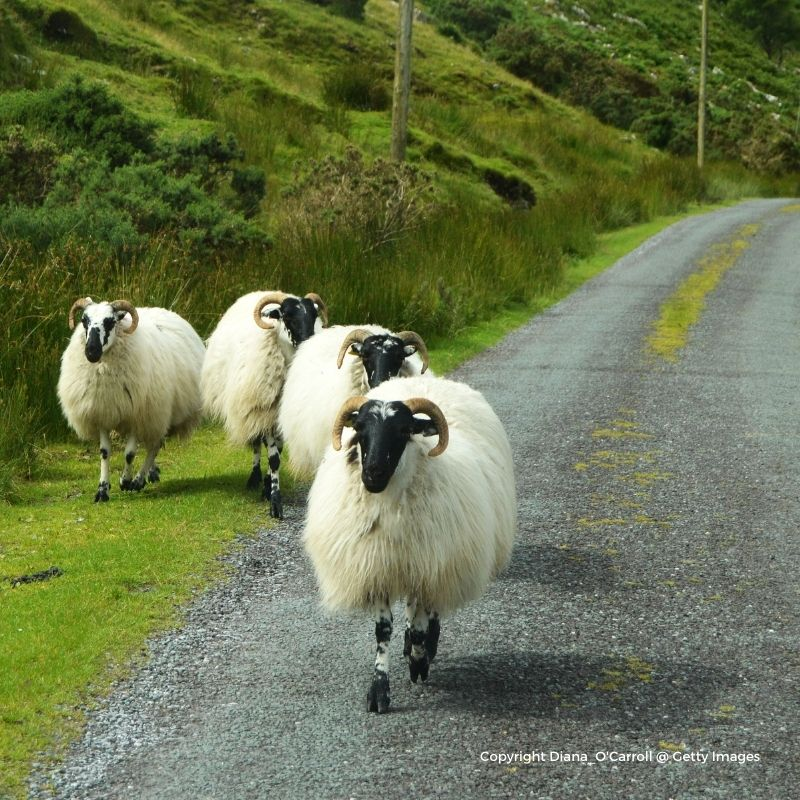 Black faced sheep with horns on a rural road