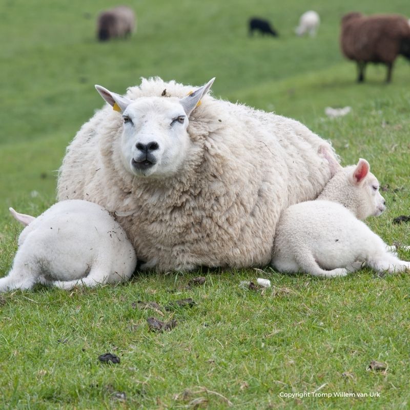 Mother sheep with two baby lambs lying in a green grass