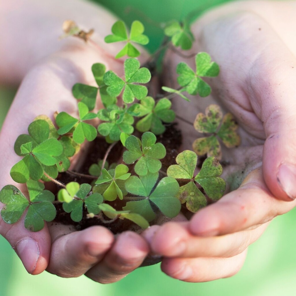 Holding shamrocks in the palm of the hands