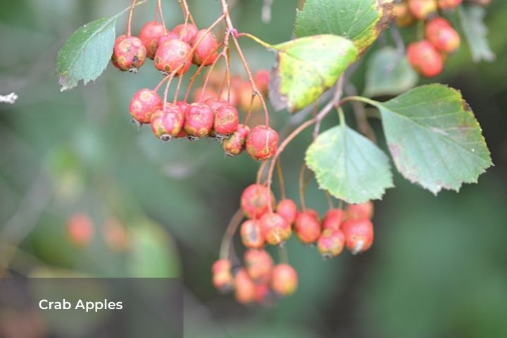 Crab apples and leaves on a branch